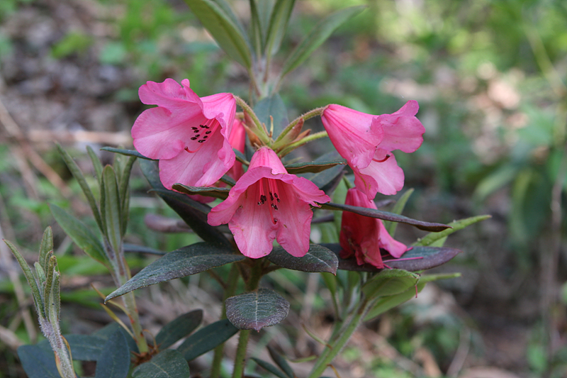 Rhododendron `Winsome`